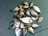 Bluegills  & crappies